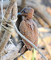 Rufous Woodpecker Micropternus brachyurus by Dr. Raju Kasambe DSCN0722 (2).jpg