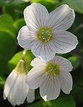 Ruhland, Grenzstr. 3, Waldsauerklee im Garten, Blüten, Frühling, 01.jpg