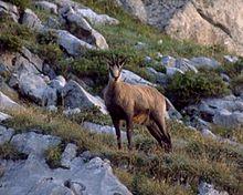 Investigations of pestivirus infection in wild Caprinae in ...
