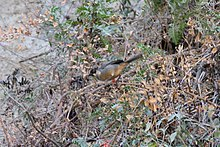 Rusty-bellied Brush-Finch (Atlapetes nationi).jpg
