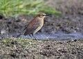 Rusty Blackbird (15268243640).jpg