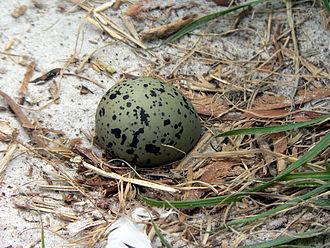 Гнездо шилоклювки
