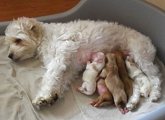 Dog - Female dog nursing newborn puppies