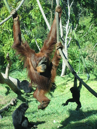 Ape - Like those of the orangutan, the shoulder joints of hominoids are adapted to brachiation, or movement by swinging in tree branches.