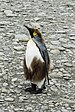 SGI-2016-South Georgia (Fortuna Bay)–King penguin (Aptenodytes patagonicus) 03.jpg