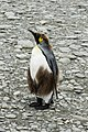 SGI-2016-South Georgia (Fortuna Bay)–King penguin (Aptenodytes patagonicus) 03.jpg