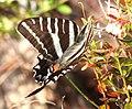 SWALLOWTAIL, ZEBRA (Eurytides marcellus) (2-24-13) kissimmee lake state park, osceola co, fl (3) (9420608555).jpg