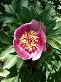 Sabine Beckmann Paeonia clusii pink variety 4 05.jpg