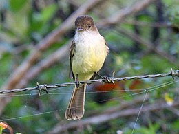 Sad Flycatcher.jpg