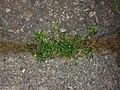 Sagina procumbens plant (14).jpg