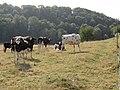 Saint-Nicolas-de-la-Haye (Seine-Mar.) paysage avec vaches.jpg