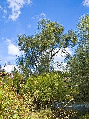 Salix fragilis - Salix fragilis in native riparian habitat, Hesse, Germany