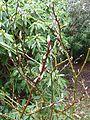 Salix moupinensis or fargesii - Flickr - peganum.jpg
