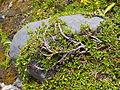 Salix retusa female Valais2.jpg
