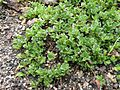 Salix serpyllifolia131.JPG