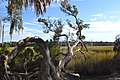 Salt marsh tree in Savannah, Ga.jpg