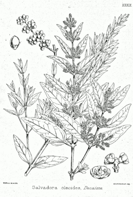 Salvadora oleoides, Illustration