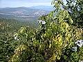 Sambucus caerulea 8012.jpg
