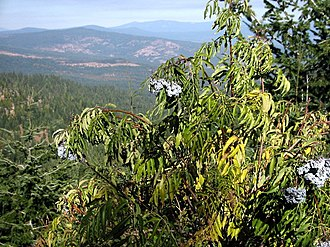 Cascade–Siskiyou National Monument - Blue elderberry in the monument