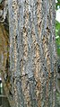 Sambucus nigra ssp. caerulea 3.jpg