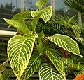 Sanchezia speciosa Leaves 2600px.jpg