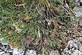 Satureja sp. Lamiaceae 06.jpg