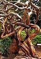 Sausilito - One Wild Tree (2056412477).jpg