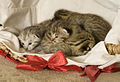 Savannah Kittens F2b 1week old.jpg