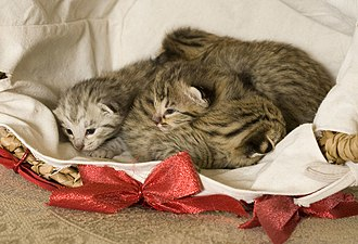 "Savannah cat - F2 ""B"" Savannah kittens at one week of age"
