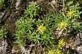 Saxifraga aizoides, Grindelwald - img 23490.jpg