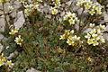 Saxifraga paniculata PID915-1.jpg