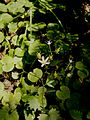 Saxifraga rotundifolia003.jpg