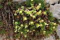 Saxifraga sedoides PID1692-1.jpg