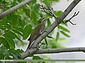 Scaly-bellied Woodpecker (Picus squamatus) (29067920245).jpg