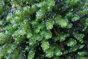 Scapania undulata IMG 6145.JPG
