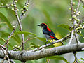 Scarlet-backed Flowerpecker 6919.jpg