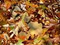 Scarlet Oak (31133053516).jpg