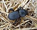 Scaurus punctatus. Darkling Beetle. Tenebrionidae (39806408042).jpg