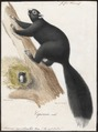 Sciurus capistratus - 1700-1880 - Print - Iconographia Zoologica - Special Collections University of Amsterdam - UBA01 IZ20400061.tif