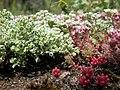 Scleranthus perennis inflorescence (12).jpg