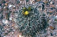 Sclerocactus whipplei fh 58 AZ BB