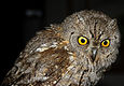 Scops Owl.jpeg