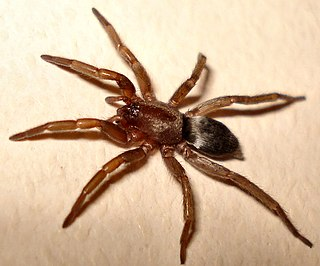 <i>Scotophaeus</i> genus of arachnids