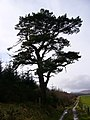 Scots pine near Corriefoulis - geograph.org.uk - 368196.jpg