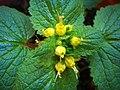Scrophularia chrysantha-1.JPG