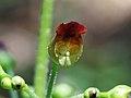 Scrophularia nodosa (14257066791).jpg