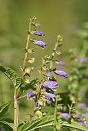Scutellaria lateriflora 01