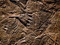 Scyphocrinites elegans Musée des Confluences 18102015 2.jpg