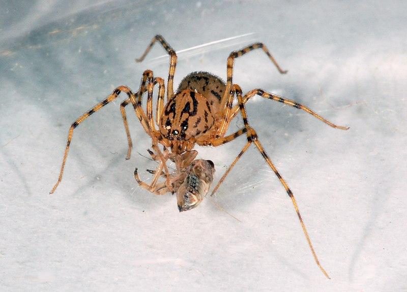 File:Scytodes thoracica fg06.jpg
