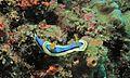 Sea Slug (Chromodoris annae) (6062266962).jpg
